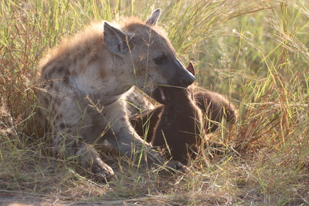 Hyena with pup in the long grass Imagens