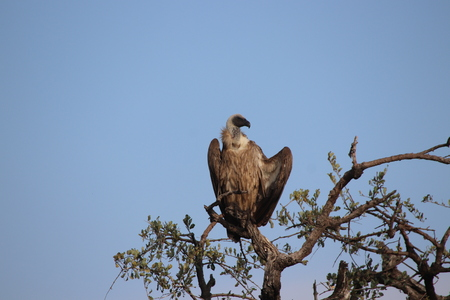 Vulture sitting high in a tree allowing the sun rays to penetrate and heat its body after a cool night Imagens