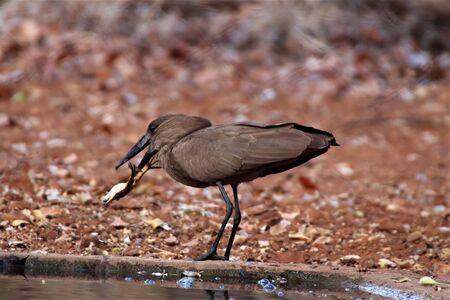 Hamerkop bird caught a frog for lunch at a waterhole Imagens
