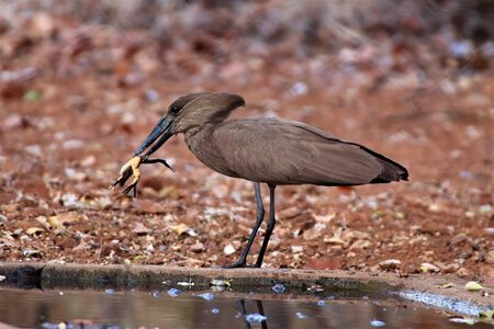 Hamerkop bird at a waterhole with a frog it caught for lunch in its beak
