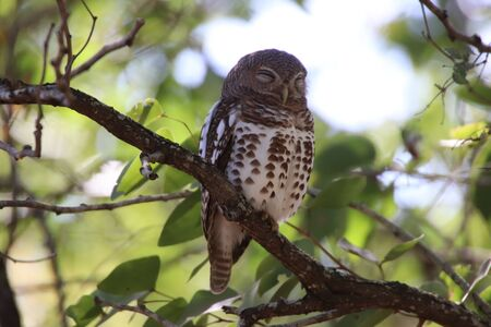 African Barred Owlet sleeping in a tree after a long night looking for food 写真素材
