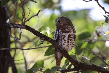 African Barred Owlet sitting in a tree, looking sideways for danger and food
