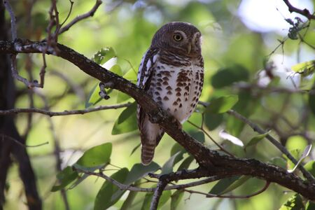 African Barred Owlet sitting in a tree keeping an eye for food and danger 写真素材