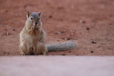 Tree Squirrel looking for some food to eat on the ground Imagens