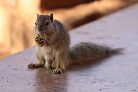 Tree Squirrel sitting and eating while holding the food in its front paws Imagens