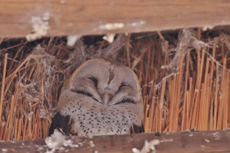 Barn owl sleeping in on a support of a thatch roof