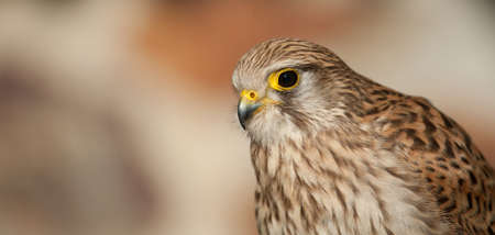 common kestrel with closed beak background light earth colors