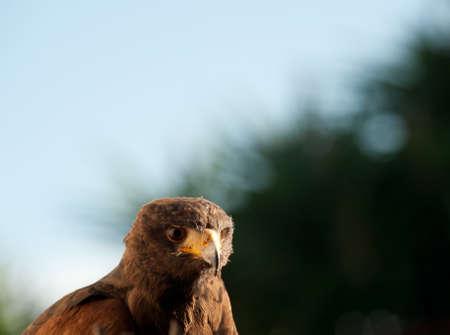 harris eagle close-up beak brown eyes brown background