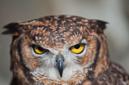 African owl beak closed, ears raised green background
