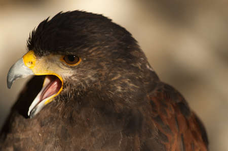 harris eagle close-up beak brown eyes brown background Imagens