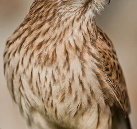 plumage detail Common kestrel light brown background