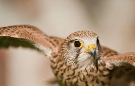 common kestrel with open wings background light colors