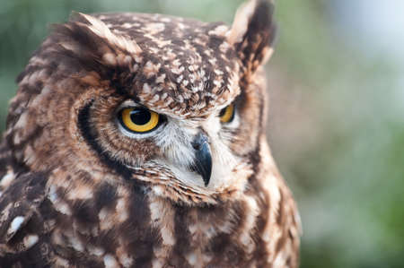 African owl with closed beak, and ears lowered and white background and morron earth