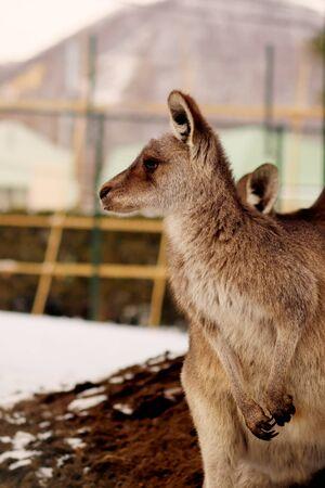 A Kangaroo watching something in winter