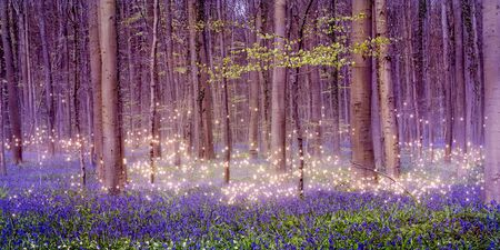 A magically enchanting fairytale forest landscape with shimmering pixie dust stars over a beautiful carpet of blue bluebells among the tall deciduous trees.