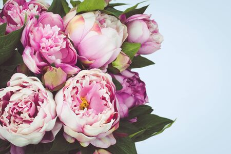Pink Peony flowers on blue background.