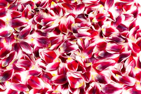 Floral background with red and white tulip flower leaves. Фото со стока