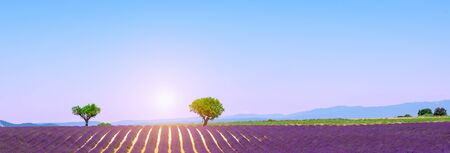 Lavender field with sunset, Valensole, Provence.