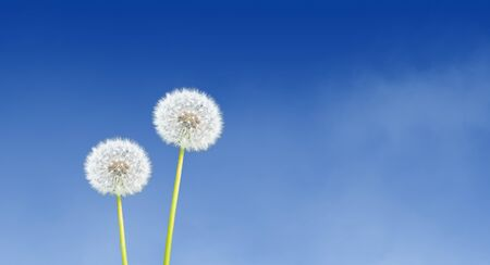Dandelion on blue sky background. Фото со стока