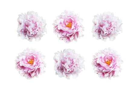 Set of pink peonies isolated on white background. Фото со стока