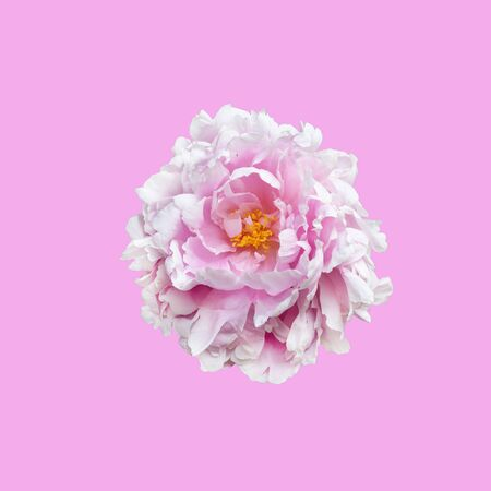 Peony flower isolated on pink background.