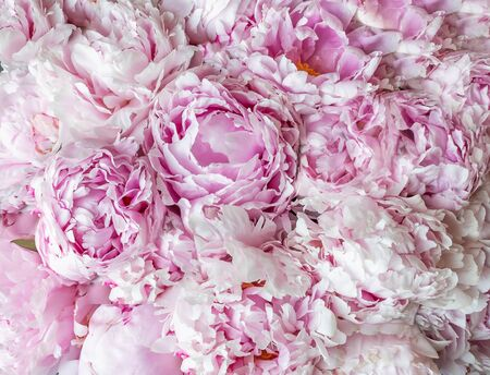 Beautiful pink peony flower background.