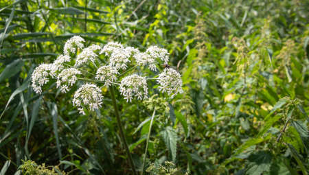 Anthriscus Sylvestris or Cow Parsley. White wild flowering plant.