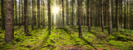 Beautiful panoramic forest with the morning sun shining through the trees. Standard-Bild