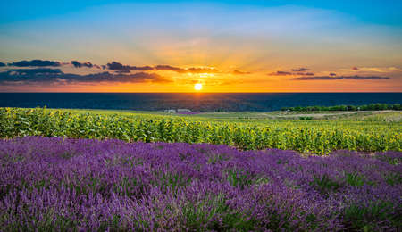 Lavender and sunflower field at sunset in the Provence.