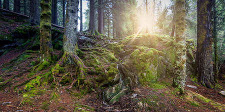 Sunshine through the pine trunks in a mossy forest in Norway.