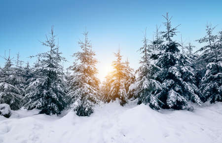 Enchanted snow forest winter landscape. Snow covered evergreen trees at sunset.