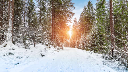 Sunset in a snowy forest with hiking trail in Rocherath, Bullingen, Belgian Eifel in the Ardennes. Фото со стока