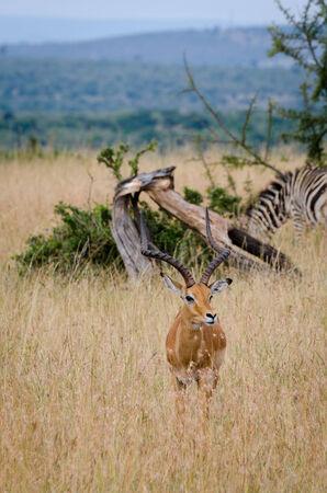 masai mara: An Impala in Masai Mara National Reserve, Kenya, Africa