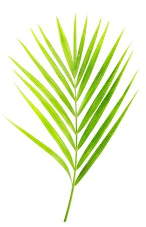 ヤシの木の白で隔離される緑の葉