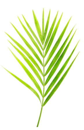 green leaf of palm tree isolated on white photo