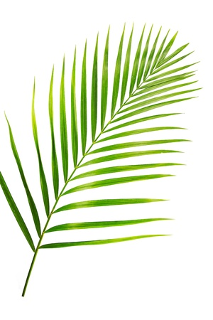 Grünen Blatt der Palme isoliert auf weiß Standard-Bild - 13009399