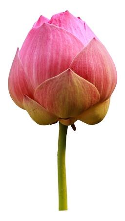 ピンクの蓮の花の開花を閉じます