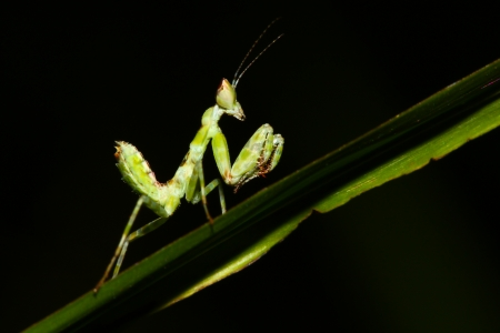 green mantis mantide  Stock Photo