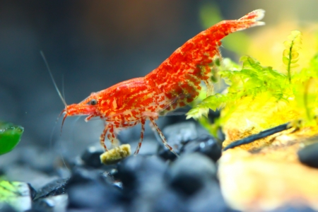 red shrimp Stock Photo