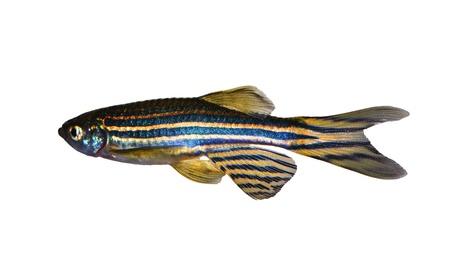 Zebra Danio    aquarium fish Stock Photo - 14569931