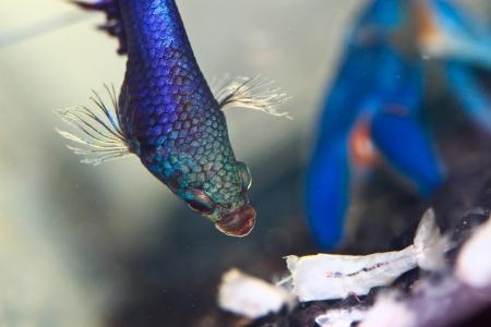 fighting fish Stock Photo - 14598933