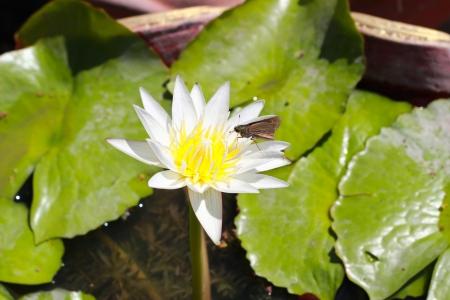 lilypad: White lotus flower Stock Photo