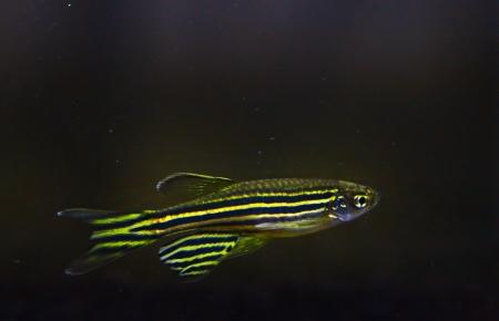 ゼブラダニオ水族館の魚