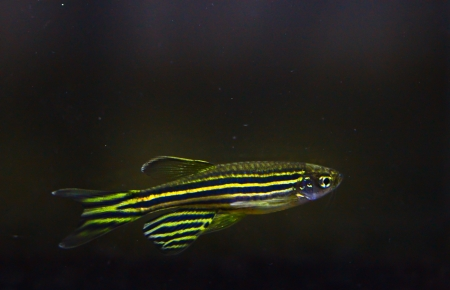 tiddler: Zebra Danio    aquarium fish