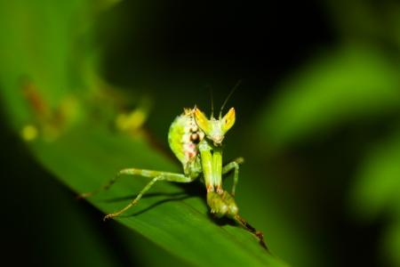 green mantis mantide  photo