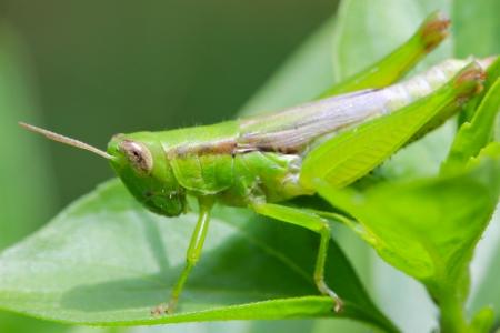 Macro of grasshopper photo