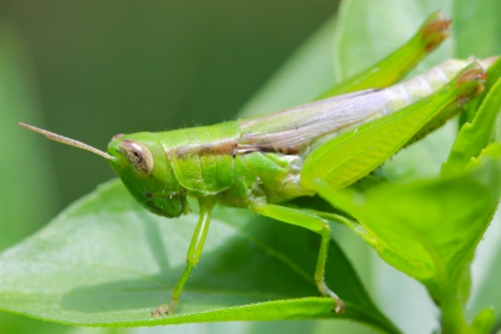 Macro of grasshopper photo