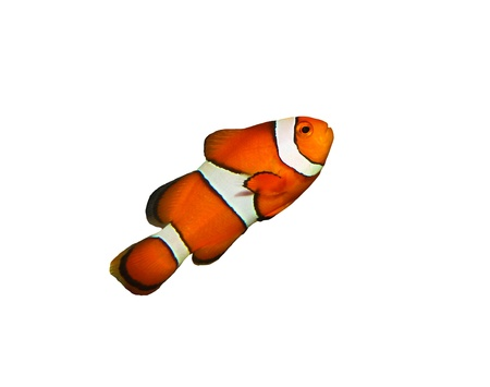 clownfish isolated on white photo