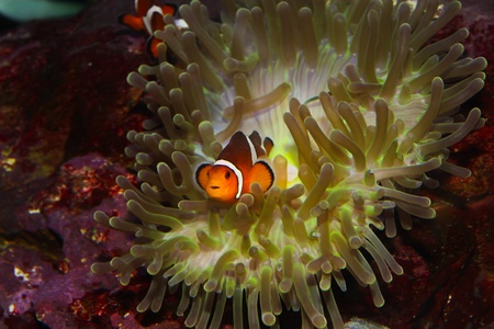 symbiosis: anemonefish  clownfisch Stock Photo