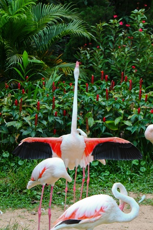 phoenicopterus:  Greater Flamingo  Phoenicopterus roseus  Stock Photo